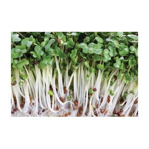 Description variété: Les germes de blé sont riches en protéines, hydrates de carbone, vitamines C, E, B, B17 et en minéraux tels que le calcium, le magnésium, le phosphore, le sodium et le potassium. Ils sont énergétiques et aident à maintenir l'élasticit