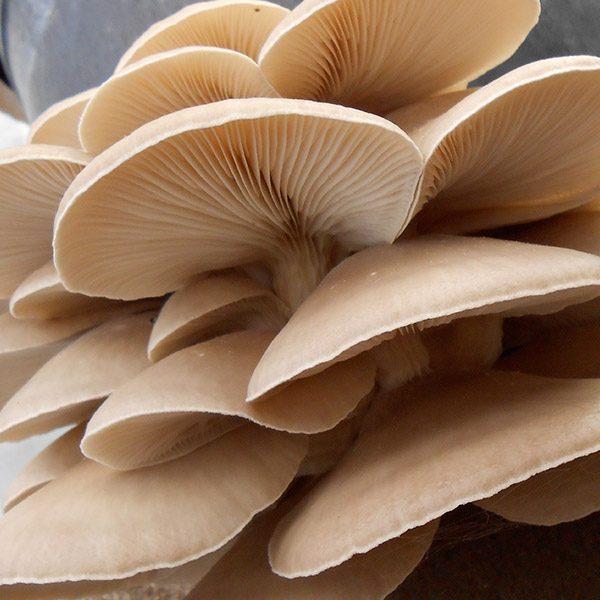 Découvrez ce champignon gourmet des plus accessibles et des plus facile à cultiver. Cette trousse permet de cultiver facilement des champignons gourmets à partir de marc de café récupéré. Simple comme Ouvrir, Arroser, Cueillir. Développées dans le respec