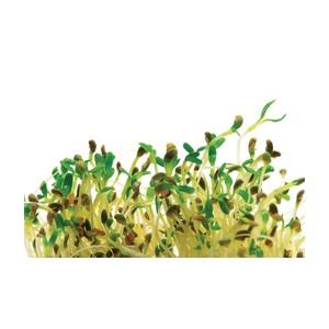 escription variété: Les lentilles rouges germent rapidement et se mangent crues ou cuites dans un plat cuisiné. Elles sont riches et charnues et ont un léger goût de noix. Faire tremper la semence pendant 12 heures. Rincer et égoutter toutes les 12 heures
