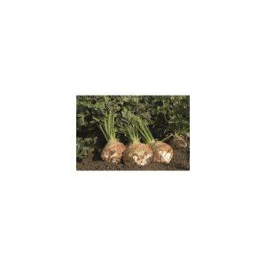 Nom du produit: Arachide Nom latin: Arachis hypogaea Description variété: Cette variété produit des cacahuètes plus petites que celles vendues en épicerie, mais ses arachides sont de grande qualité. Après la fécondation, les tiges florales rampent sous
