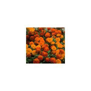 Nom du produit: Tournesol Nom latin: Helianthus annuus Description variété: De type ramifié, Soraya affiche des fleurs de 10-15 cm, vraiment orangées, contrairement à la plupart des tournesols, qui sont jaune orangé. Très attrayant au jardin, il combler