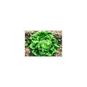 Nom du produit: Épinard Nom latin: Spinacia oleracea Description variété: Feuilles vert foncé, joliment cloquées avec une texture lisse. Escalade est une variété fiable, qui s'adapte mieux aux variations de température et de lumière que les autres varié