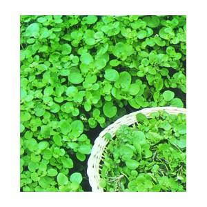 Nom du produit: Bette à carde Nom latin: Beta vulgaris Description variété: La variété Silverado a une feuille vert foncé, un pétiole blanc et est lente à la montaison même en saison chaude. Excellente source de vitamine A et C, de fer et d'acide foliqu