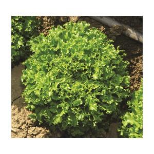Nom du produit: Laitue Boston Nom latin: Lactuca sativa Description variété: Variété populaire aux feuilles croustillantes et savoureuses. Tolérante à la chaleur, lente à la montaison. Pomme pesante, de grosseur moyenne. Maturité (jours): 55 Hor