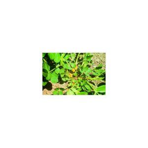 Nom du produit: Céleri Nom latin: Apium graveolens Description variété: Une superbe variété de céleri, vert pomme, aux tiges lisses et croquantes. Maturité (jours): 90 Horti-truc: CULTURE : Le semer à l'intérieur au début mars dans un sol léger