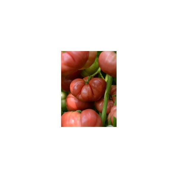 TOMATE ROSE HEIRLOOM MARRIAGE HYB. BIG BRANDY-3396