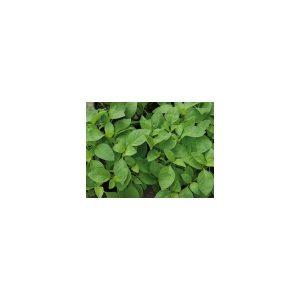 Nom du produit: Basilic Nom latin: Occimum basilicum Description espèce: Semez en mars-avril à l'intérieur, puis repiquez à la fin de mai. Aime la chaleur. Feuilles savoureuses et aromatiques. Le basilic fraîchement cueilli ou séché s'emploie dans les p