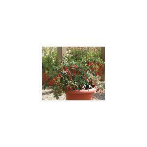 Nom du produit: Piment fort Nom latin: Capsicum Description variété: JARDINIER URBAIN. Enfin sur le marché, ce piment dit de type Espelette, est originaire d'Europe où sa réputation n'est plus à faire. Son plant peut atteindre jusqu'à un mètre de hauteu