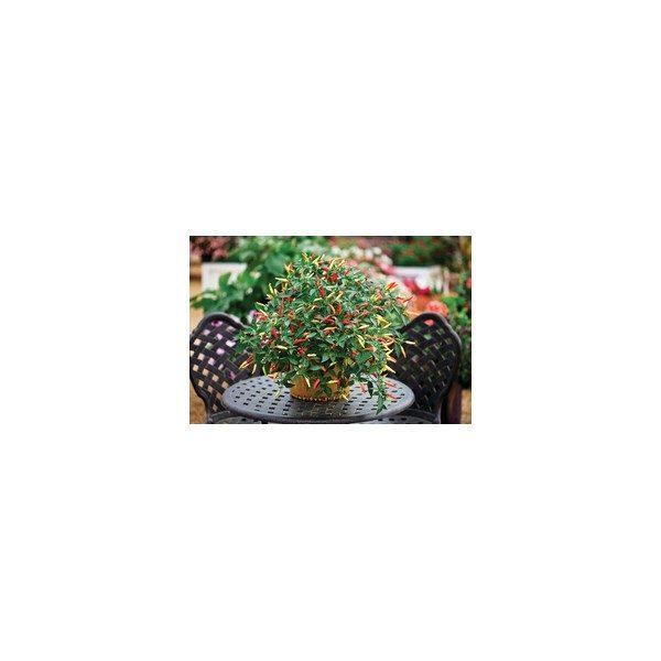 Nom du produit: Piment fort Nom latin: Capsicum Description variété: JARDINIER URBAIN. Des mini piments forts de 5 à 7 cm de long, rouges et piquants à souhait. Maturité (jours): 58 Couleur: Vert/ rouge Dimension fruit (cm): 5-7 X 1-2 Forme Fruit