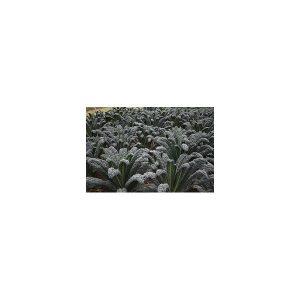 Nom du produit: Chou - Kale Nom latin: Brassica oleracea sabauda Description variété: JARDINIER URBAIN. De la santé en pot. Voici le premier mélange de kale SimplySalad. Il est composé de kales aux textures et aux couleurs variées incluant le pourpre, l