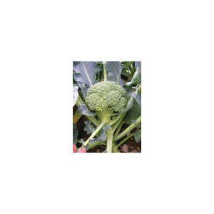 Nom du produit: Chou-fleur Nom latin: Brassica oleracea botrytis Description variété: Type Romanesco. Sa belle tête pointue, uniforme, vert lime en fait une variété intéressante et inhabituelle à cultiver. Idéal en culture d'automne. Maturité (jours