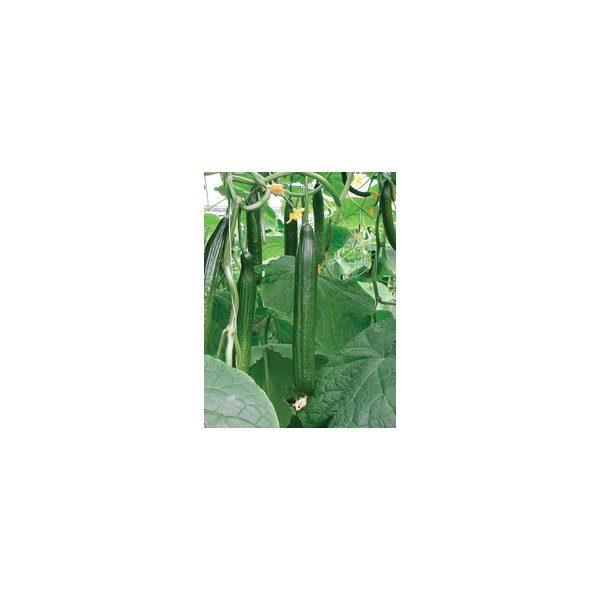 Nom du produit: Concombre de Serre Nom latin: Cucumis sativus Description variété: Première introduction d'une variété de concombre du Moyen-Orient destiné pour la production en serre. Production de fruits très réguliers, 18 à 22 cm de long. Couleur: de