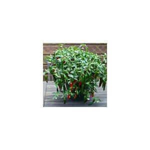 Nom du produit: Piment fort Nom latin: Capsicum Description variété: JARDINIER URBAIN. Une avalanche de petits fruits chauds dans une palette de couleurs passant du crème à l'orange au rouge vif. Son port retombant en fait un choix judicieux tant pour l