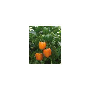 Nom du produit: Poivron doux Nom latin: Capsicum annuum Description variété: Une variété de piment jaune qui produira de gros fruits à la paroi bien épaisse tout au long de la saison. Maturité (jours): 73 Couleur: Jaune brillant Dimension fruit (c