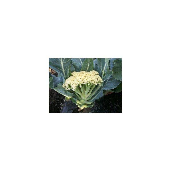 Nom du produit: Chou - Kale Nom latin: Brassica oleracea sabauda Description variété: Chou kale hâtif, facile à cultiver et à récolter à la fin de l'été ou au début de l'automne. Darkibor a un port érigé, des feuilles extra frisées et une bonne tenue au