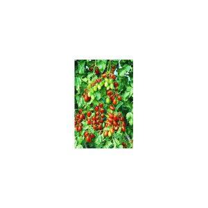 Nom du produit: Tomate - cerise Nom latin: Solanum lycopersicum Description variété: JARDINIER URBAIN. Tomate cerise orange, ultra-sucrée au goût délicieux. Donne un haut rendement de fruits bien uniformes. Port plant: indéterminé Maturité (jours):
