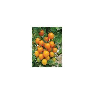 Nom du produit: Tomate - raisin Nom latin: Solanum lycopersicum Description variété: Variété aux fruits rouge très foncé et luisant, 4 cm de longueur et 2 cm de diamètre. Saveur délicieuse et texture douce. Tolérance élevée au fendillement. Haut rendeme