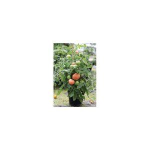 Nom du produit: Tomate - rouge Nom latin: Solanum lycopersicum Description variété: Une tomate à l'allure ancestrale, mais avec la qualité et le rendement d'un hybride. Fleurette est une vraie tomate 'Cœur de Bœuf' rouge, dans la plus pure tradition eur