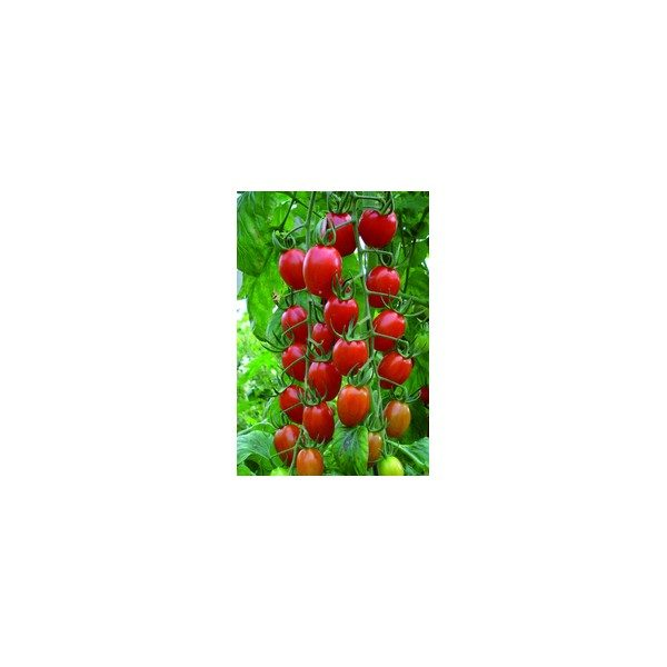 Nom du produit: Tomate - raisin Nom latin: Solanum lycopersicum Description variété: JARDINIER URBAIN. De couleur orange, cette tomate raisin, de gros calibre, se compare à la variété Juliet. Une belle façon d'apporter de la variété à votre table. Port