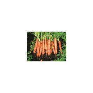 """Nom du produit: Carotte - Mini Nom latin: Daucus carota Description variété: Une variété à petites racines cylindriques lisses, tendres et sucrées, orange foncé. Idéale pour une récolte de """"bébés carottes"""" fraîches, mais aussi parfaite pour les conserve"""