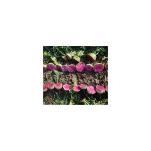 Nom du produit: Radis Nom latin: Raphanus sativus Description variété: Un radis noir à chair interne de couleur crème. Son goût est fort. Une curiosité! Maturité (jours): 55 Couleur: Noir Forme Fruit: Ovale À Ronde Horti-truc: PLANTATION: Seme