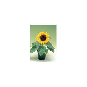 Nom du produit: Tournesol Nom latin: Helianthus annuus Description variété: Variété à très grandes fleurs simples jaunes. Floraison : juillet à septembre Exposition: ensoleillée, mi-ombragée Hauteur: 300 cm Sol: sec Usage: fleurs coupées, fle