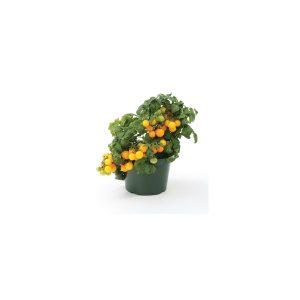 Nom du produit: Tomate - cerise Nom latin: Solanum lycopersicum Description variété: JARDINIER URBAIN. Des petites billes rouges sucrées qui éclatent de saveur dans la bouche. Plants très productifs. Port plant: déterminé Maturité (jours): 50 Coul