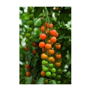 Nom du produit: Tomate - cerise Nom latin: Solanum lycopersicum cerasiforme Description espèce: Le jardinage à la portée des jardiniers urbains. Voici la toute nouvelle tomate ultra compacte, destinée aux pots de patio et même aux pots sur le rebord d'u