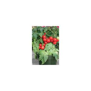 Nom du produit: Tomate - cerise Nom latin: Solanum lycopersicum Description variété: JARDINIER URBAIN. Petite tomate rouge, hâtive, sur plant compact. Recommandée pour la culture en pots. Port plant: déterminé Maturité (jours): 45 Couleur: Rouge