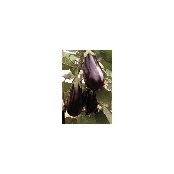 Nom du produit: Aubergine Nom latin: Solanum melongena Description variété: Aubergine allongée, de type italien et de couleur pourpre. L'absence de pépin dans Purple Shine la rend agréable à déguster en accompagnement ou dans vos recettes favorites. Le