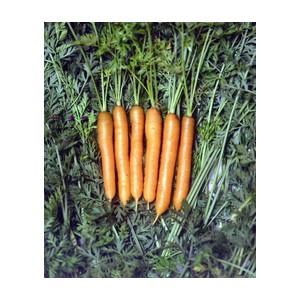 Nom du produit: Carotte de couleur Nom latin: Daucus carota Description variété: Carotte jaune de bonne qualité avec de belles racines lisses. Une variété très productive et intéressante pour le potager. Maturité (jours): 72 Couleur: Jaune Couleur