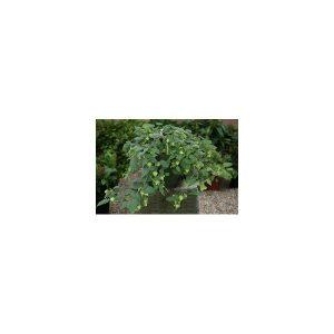 Nom du produit: Celeriac Nom latin: Apium graveolens rapaceum Description variété: Racine ronde, lisse et très blanche, tolérante à la montaison. Se conserve très bien à long terme, au frais. Maturité (jours): 105 Longueur racine: 26 cm Horti-t