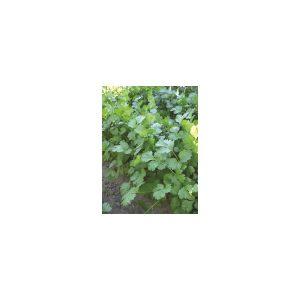 Nom du produit: Estragon Nom latin: Artemisia dracunculus Description variété: Feuilles vertes foncées sur le dessus et de couleur plus claire en dessous, étroites et légèrement pointues. Usages culinaires très variés. Sa saveur est plus prononcée que c
