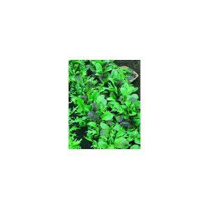 Nom du produit: Laitue frisée Nom latin: Lactuca sativa Description variété: Un plaisir pour les yeux et le palais. New Red Fire est notre variété d'un rouge rubis. Elle produit des feuilles sucrées et croustillantes et elle a une bonne résistance à la