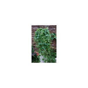 Nom du produit: Concombre Type Libanais Nom latin: Cucumis sativus Description variété: Ce concombre, de type libanais, produit des fruits légèrement pointus, lisses, vert foncé brillant et sans arrière-goût. Les fruits atteignent une longueur de 14 à 1
