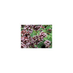 Nom du produit: Menthe Nom latin: Mentha spicata Description variété: La plus populaire des menthes puisque les feuilles ont un arôme fruité plus doux. Usages culinaires multiples. Plante envahissante dont les tiges se propagent rapidement. Fleurs mauve