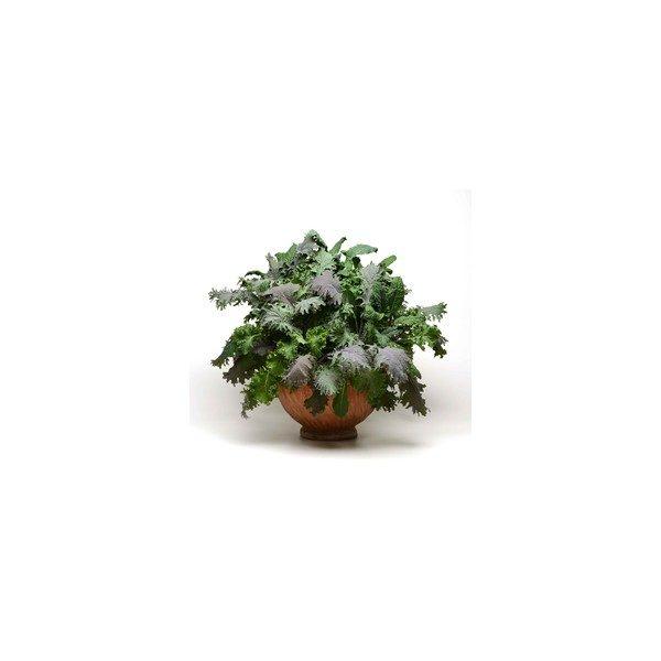 Nom du produit: Chou d'hiver Nom latin: Brassica oleracea Description variété: Variété bien connue des producteurs maraîchers en raison de son goût sucré et sa texture délicate, peu communs pour un chou d'hiver. Lennox produit des pommes rondes et dense