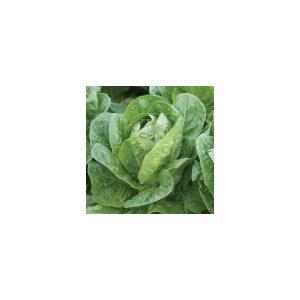 Nom du produit: Laitue mini romaine Nom latin: Lactuca sativa longifolia Description variété: Voici une mini laitue romaine de couleur rouge brillant. Pomegranate Crunch atteint seulement environ 15 cm en hauteur avec une tête compacte et dense. Son ren
