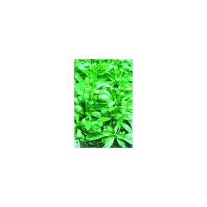 om du produit: Légumes orientaux Description variété: Mini Pak Choï , au feuillage foncé et frisé, avec une tige blanche. Son port est compact et dense : White Jewel peut atteindre 10 à 12 cm de haut et tolère bien la chaleur et le froid. Ajoutez-le à vo